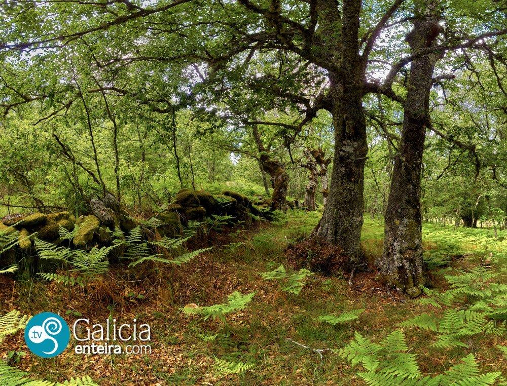 El Bidueiral do Xares, el bosque de los susurros