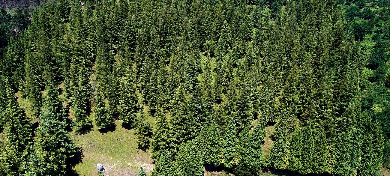 Bosque de secuoyas - Poio