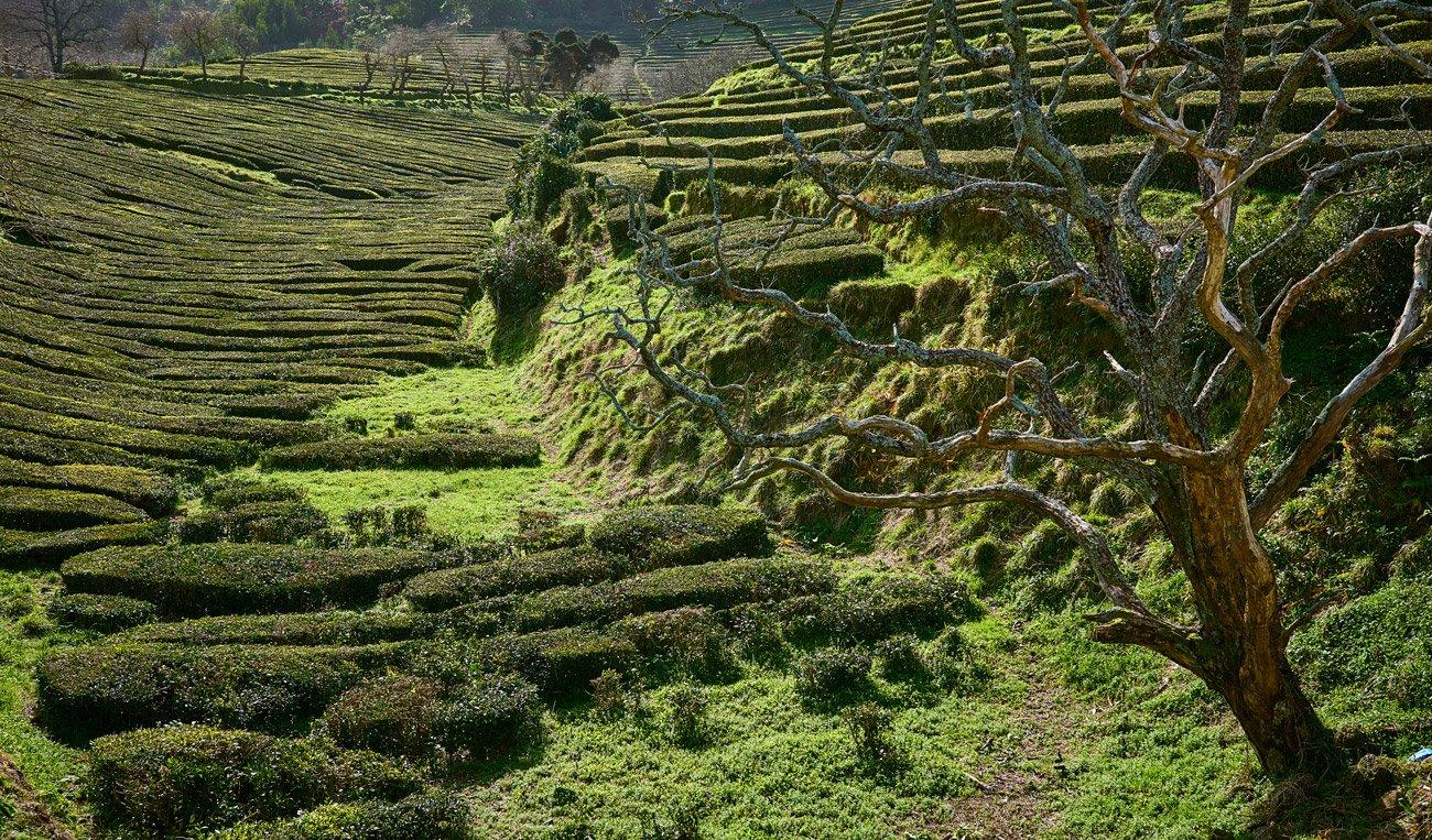 Plantación de té de Gorreana, Azores