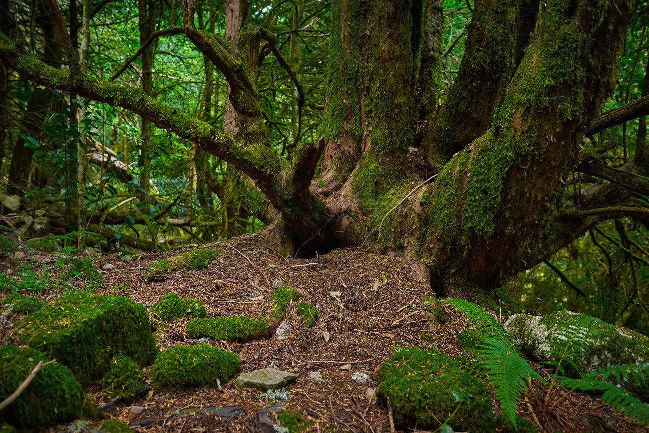 Camino Sanabrés: Bosque de Tejedelo